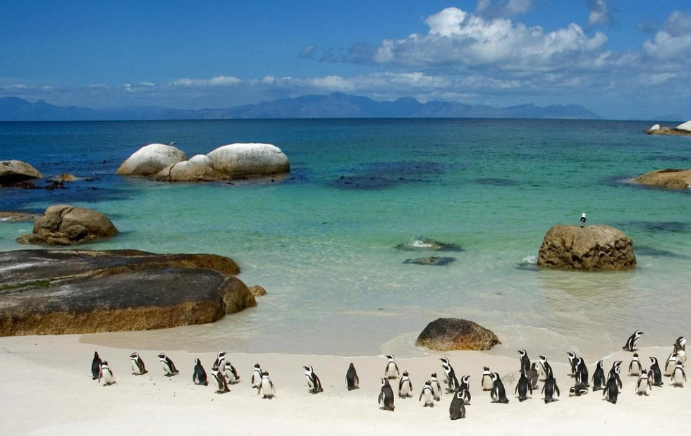 South African Penguins on the Beach